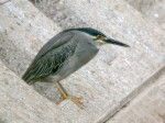 Striated Heron2