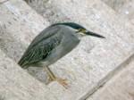 Striated Heron2